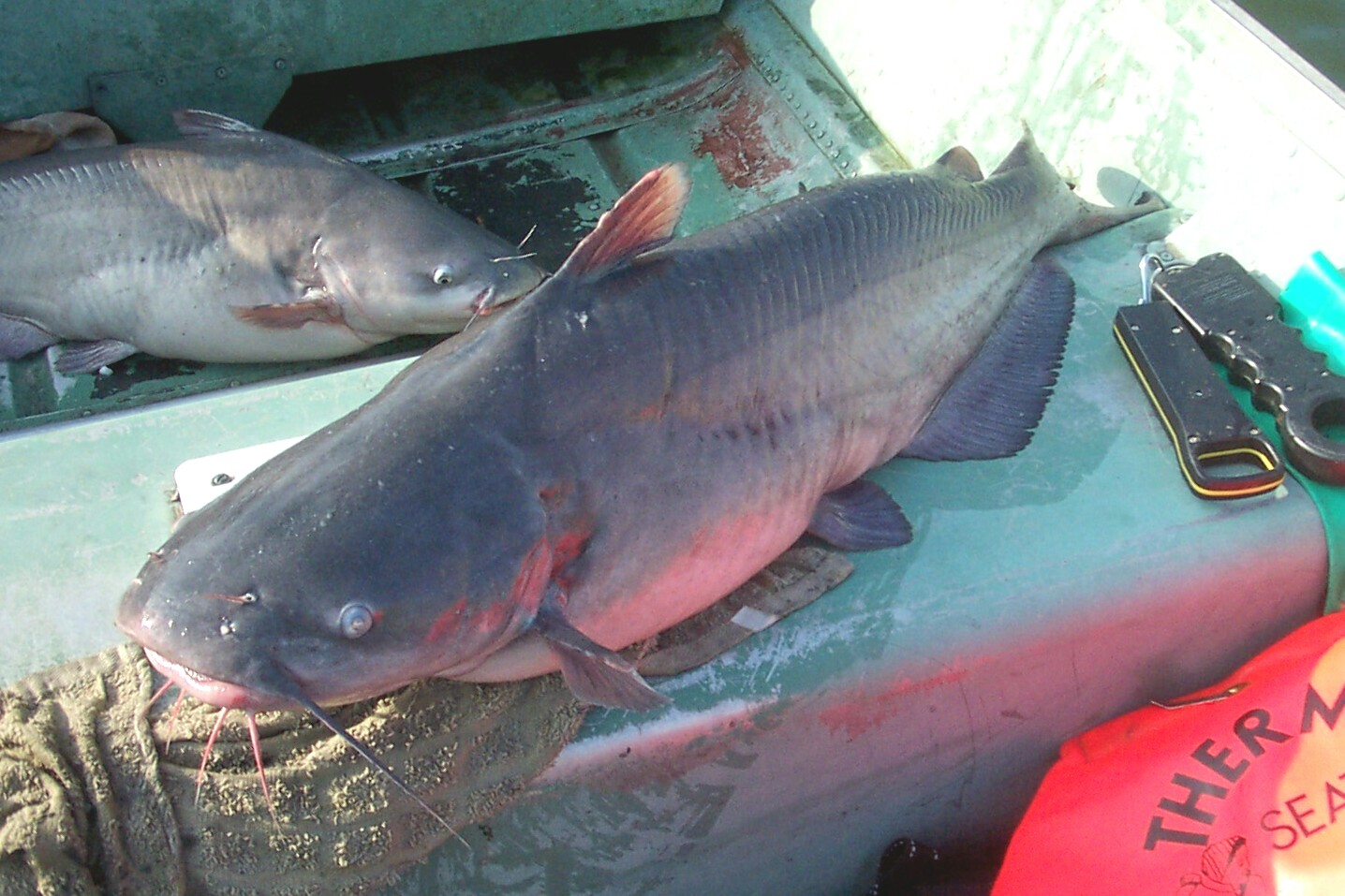 MY 28 pound BLUECAT Nov.5th. 2007 and a 26 pound blue cat on the bottom of the boat !!